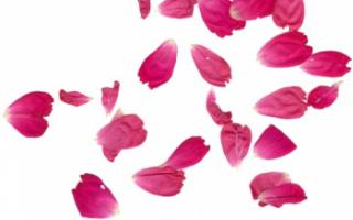 Лепестки шиповника — лечебные свойства и применение в домашних условиях