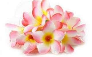 Плюмерия (франжипани) – описание с фото цветка; выращивание и уход за ним; польза и вред франжипани (с противопоказаниями)