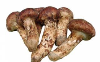 Мацутакэ — описание с фото полезных свойств, лечения грибом, вреда и противопоказаний; использование в кулинарии и рецепты блюд с ним