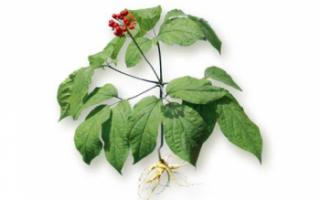Женьшень — полезные свойства, выращивание и противопоказания