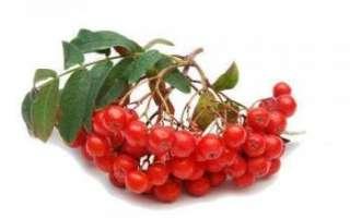 Рябина красная — описание полезных свойств ягод; противопоказания к их применению; фото рецепты приготовления лечебных плодов