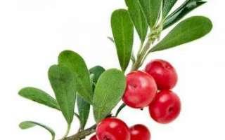 Толокнянка (медвежье ушко) — полезные и лечебные свойства самого растения и его плодов