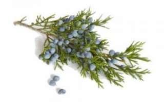 Можжевельник — описание свойств растения, его плодов и эфирного масла