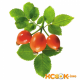 Листья шиповника — лечебные свойства и противопоказания