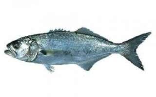 Описание рыбы луфарь с фото, её состав и полезные свойства; применение в кулинарии