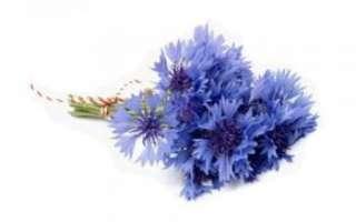 Васильки – описание с фото цветка; его полезные свойства и противопоказания (польза и вред); сбор и хранение; использование в лечении и кулинарии