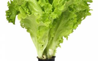 Салат афицион — свойства, выращивание и уход