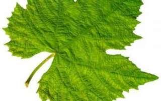 Виноградные листья — польза и вред для организма