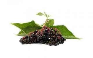 Черноплодная рябина — польза и вред ягод