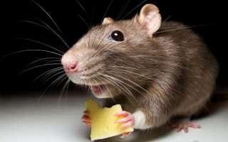 Как избавиться от мышей и их запаха (в частном доме, квартире, гараже, погребе, на даче)?