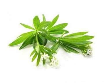 Ясменник пахучий – описание с фото травы; свойства (польза и вред) растения и его применение в медицине и кулинарии