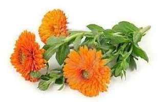 Цветы календулы — описание чем полезны и каковы противопоказания; свойства лечебных цветков; их применение в кулинарии