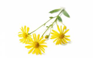 Арника горная – описание с фото растения; лечебные свойства цветка и противопоказания к его применению; польза и вред травы; рецепты отваров и настоек