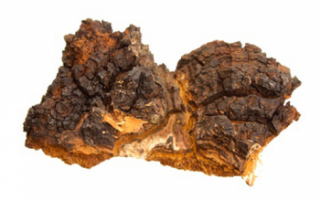 Чага (березовый гриб) – описание полезных свойств, вреда и противопоказаний; лечение грибом; использование в кулинарии