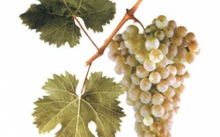 Виноград Ркацители – описание сорта с фото; полезные свойства, вред и противопоказания; использование в кулинарии и виноделии