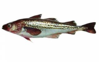 Рыба минтай – описание с фото, польза и вред, как приготовить