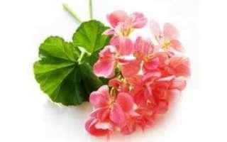 Цветы герани – описание с фото растения; уход за ним; свойства и польза цветка; его применение для лечения и в кулинарии
