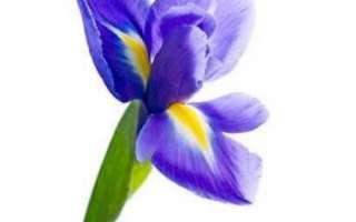 Растение ирис – описание с фото цветка; его лечебные свойства; польза и вред; применение для лечения и в кулинарии