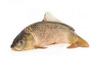 Карп — описание рыбы, ее обитание, виды и вкусные рецепты