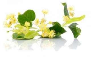 Цветы липы — лечебные свойства и противопоказания