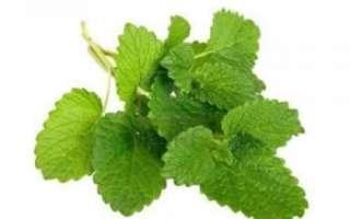 Мелисса лекарственная — свойства, химический состав и применение травы