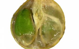 Вампи — описание вкуса; фото экзотического тайского фрукта; полезные свойства, вред, противопоказания; использование в кулинарии и лечении