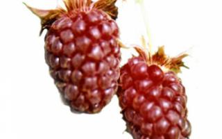Логанова ягода — полное описание свойств с фото