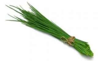 Шнитт-лук – описание с фото резанца; его выращивание (посадка и уход) и полезные свойства; использование в кулинарии и лечении; рецепты