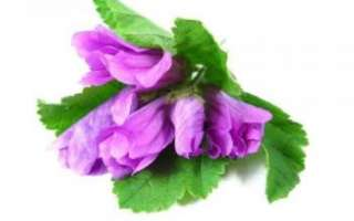Мальва – описание растения с фото; полезные свойства цветков и противопоказания (польза и вред); уход и выращивание; кулинарные рецепты