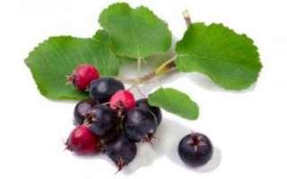 Ирга – описание с фото; полезные свойства ягод растения, вред и противопоказания к употреблению; использование в лечении и кулинарии