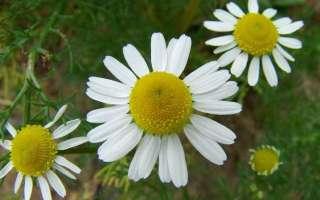 Ромашка аптечная – лечебные свойства и противопоказания