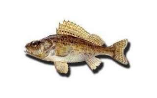Описание внешнего вида ерша с фото, размеры и состав этой рыбы, её полезные свойства и калорийность; рецепт приготовления