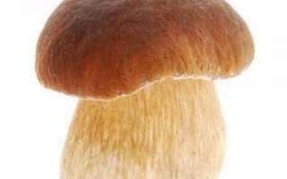 Белый гриб (боровик) — описание, виды и где растет