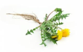 Одуванчик — лечебные свойства и противопоказания