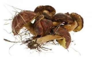Польский гриб — белый, подробное его описание с фото
