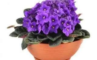 Цветы фиалки — полезные свойства, выращивание и уход