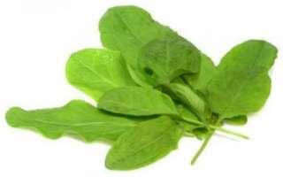 Щавель — калорийность растения, лечебные свойства и противопоказания употребления его листьев