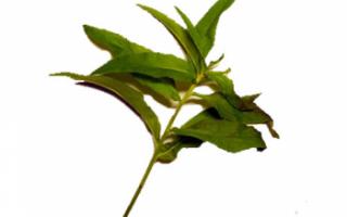 Кипрей (Иван-чай) – противопоказания и его лечебные свойства