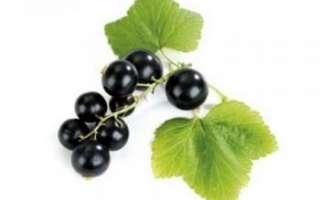 Смородина черная — описание пользы и вреда ягод