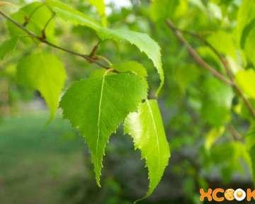 Лечебные свойства березовых листьев и противопоказания к их использованию; народные рецепты