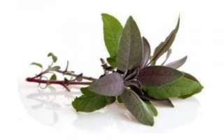 Шалфей — лечебные свойства и противопоказания