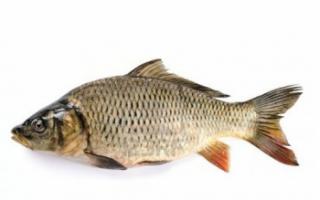 Фото рыбы сазан, состав и калорийность; как выбрать и хранить; использование продукта в кулинарии с видео; польза и вред; как правильно ловить