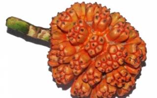 Панданус — описание пользы и вреда растения с фото: цветов, листьев и плодов