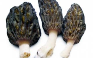 Сморчок — где растут эти съедобные грибы и когда их нужно собирать?