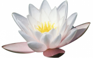 Лотос — виды, выращивание и полезные свойства