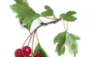 Боярышник — выращивание, полезные свойства и противопоказания