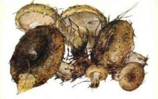 Чернушка (черный груздь) — описание этих грибов с фото