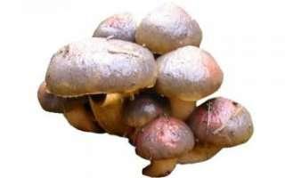 Мокруха пурпуровая — описание свойств елового гриба, его фото