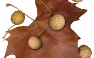 Дерево сикомор — описание свойств его плодов с фото (полезные свойства и противопоказания; польза и вред); использование ягод в кулинарии