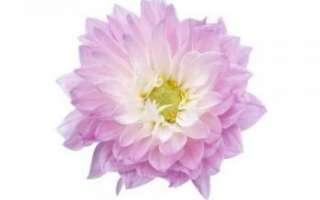 Цветы георгины – их описание с фото и выращивание; лечебные свойства и противопоказания; лечение георгинами; использование растения в кулинарии